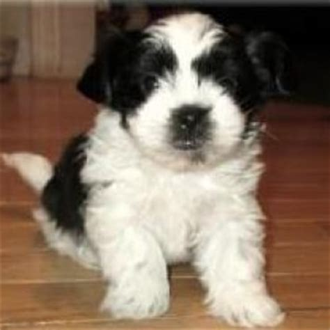 miki dog breed information