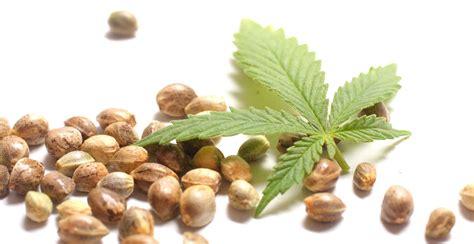 marijuana seed bank usa best cannabis seed bank greenpoint seeds