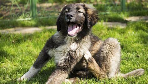 skin irritation on dogs caring for skin irritations