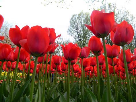 wallpaper bunga warna warni bergerak 5 gambar bunga tulip warna berbeda gambar animasi gif
