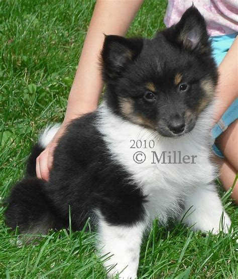 pomeranian sheltie mix puppies for sale poshie puppies pomshel puppies shelteranian puppies sheltie pom mix puppies black