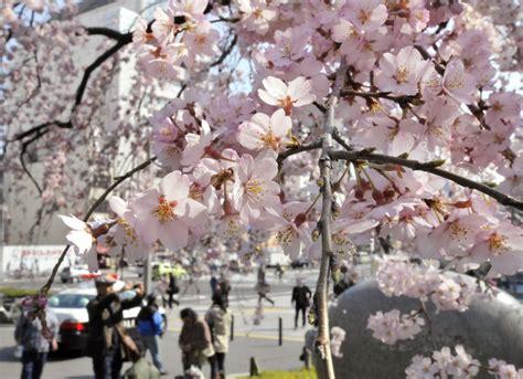 imagenes de japon en invierno los cerezos en flor aportan un rayo de esperanza a los