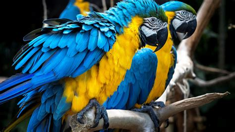 macaw parrot hd wallpaper