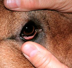 conjunctivitis in dogs an overview of conjunctivitis including symptoms and treatment options