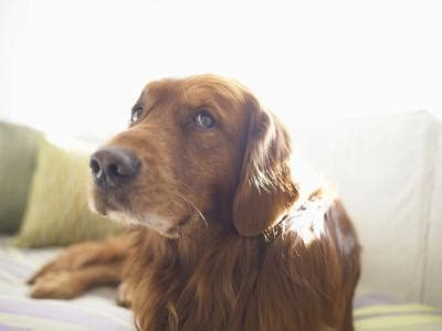 when do dogs start their period is swelling normal for a on their period care the daily puppy