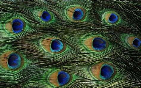 peacock background wallpapers of peacock feathers hd 2016 wallpaper cave