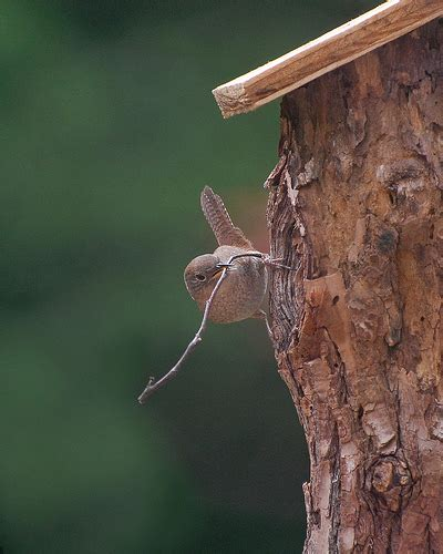 house wren nest building flickr photo sharing