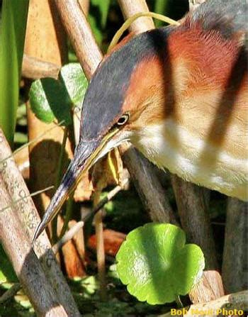 pa fish and boat seasons and bag limits least bittern