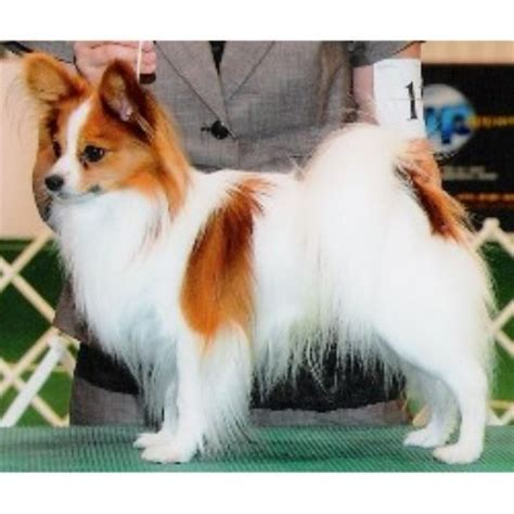 papillon puppies for sale mn mck papillons papillon breeder in branch minnesota