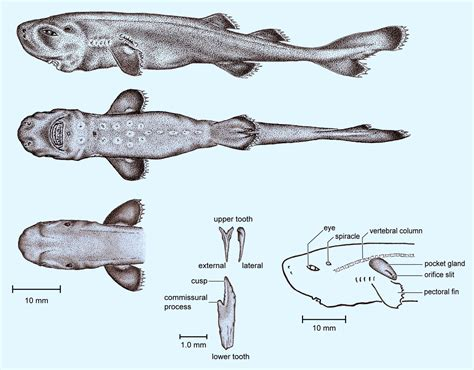 pocket shark extremely water pocket shark in gulf of mexico biology sci news