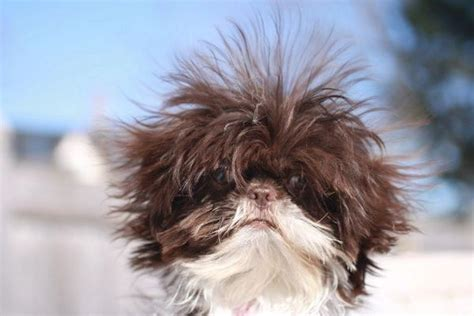 shih tzu lifespan shih tzu fur loss shih tzu city