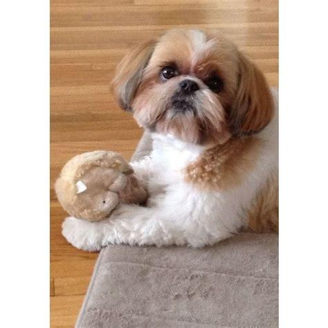 best toys for shih tzu puppies 25 best ideas about shih tzu on shih tzu shih tzu puppy and baby