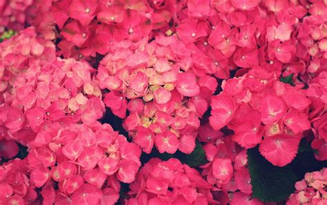 imagenes wallpapers flores flores de color rosa fondos de pantalla flores de color