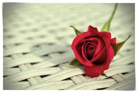 imágenes de rosas que brillen imagenes de rosas que brillen dibujo imagenes