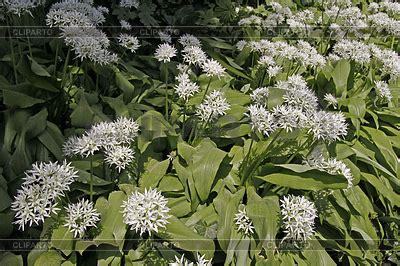 Bärlauch Im Garten 3914 by B 195 164 Rlauch Stock Fotos Und Vektorgrafiken Cliparto