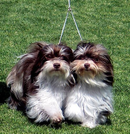 havanese arizona havanese rescue clubs resources arizona r havanese