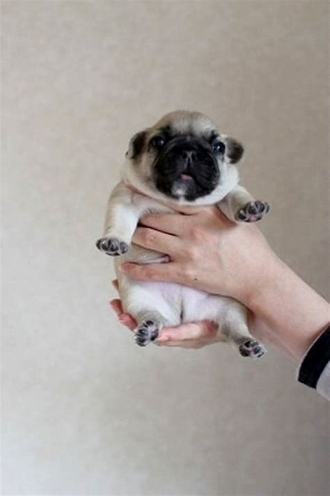 pug monkey baby a pug puppy to brighten your monday cuddly adorable animals