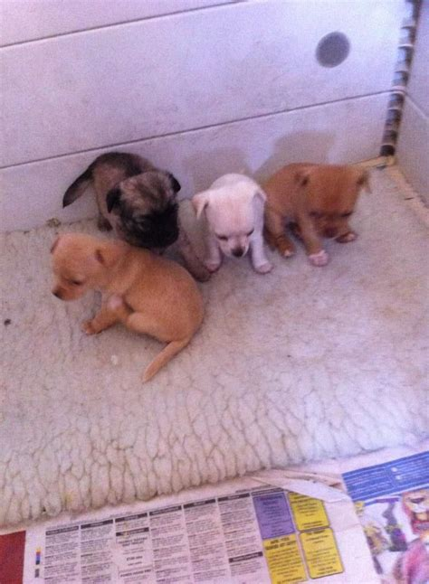 cheap teacup chihuahua puppies for sale chihuahua dogs for sale breeds picture