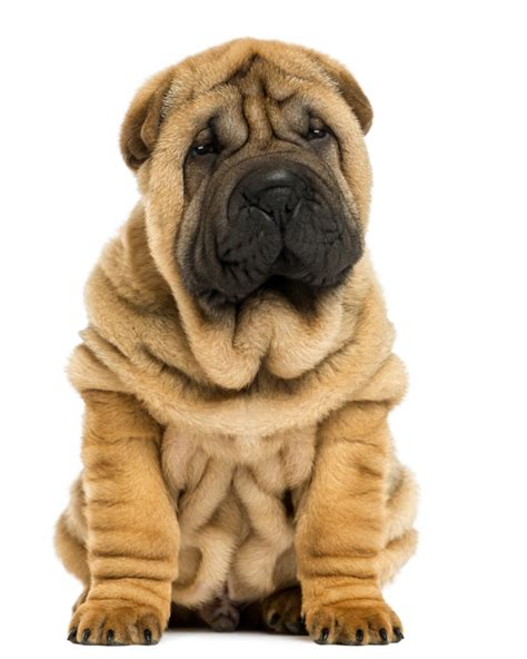 shar pei breed shar pei puppies breed information puppies for sale