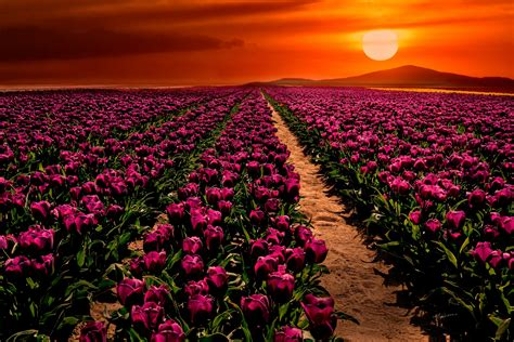 wallpaper purple tulips sunset garden hd flowers