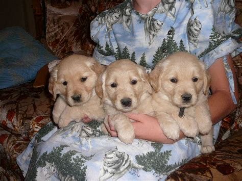 golden retrievers for sale in arizona puppies for sale golden retriever including american etc golden
