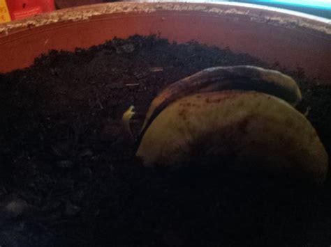 wandle lang mangokern nach einpflanzen gespalten seite 1
