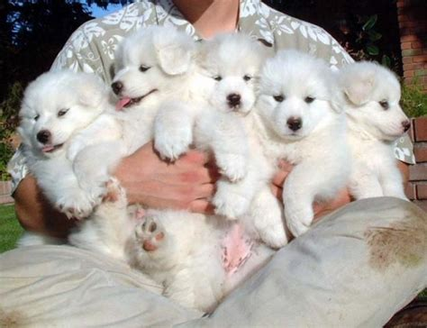 pyrenees puppies community post undeniable proof that samoyeds are irresistible dogs