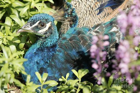 Pretty As A Peacock by Pretty As A Peacock Photograph By Engelhardt
