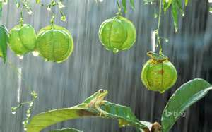 Tropical Wallpaper For Walls Hyla Japonica In Tropical Rain Forest Nature