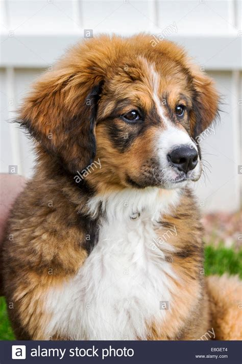great pyrenees bernese mountain mix twelve week bernese mountain great pyrenees mix breed stock photo royalty