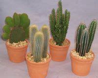 kaktues bakimi uzmantv