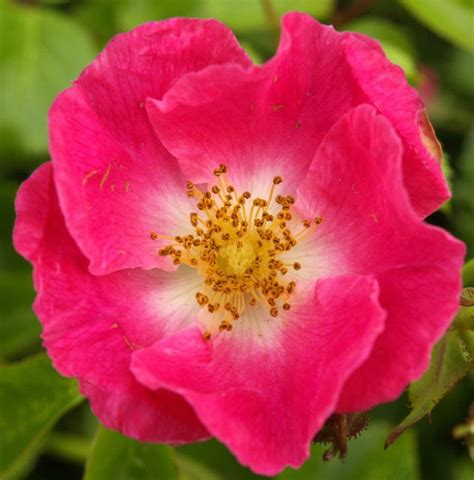 file trackside wild rose geograph org uk 859028 jpg