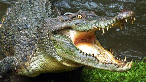 alligators and crocodiles national crocodiles my animal my health
