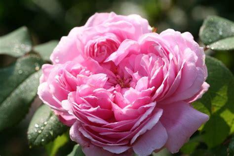 Gertrude Jekyll 1973 by Letzter Rosenduft Last Scent Of Roses Abenteuer Garten