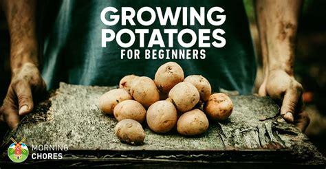 growing potatoes varieties planting guide care
