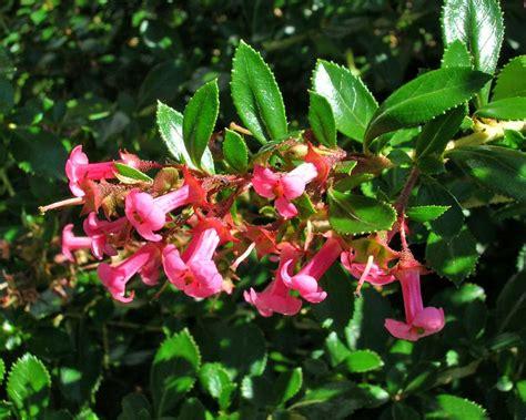 gardensonline escallonia rubra macrantha