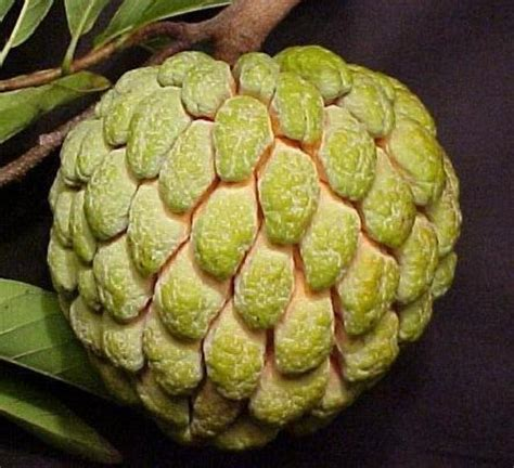 sugar apple fruit to west africa that was introduced to the caribbean it is the