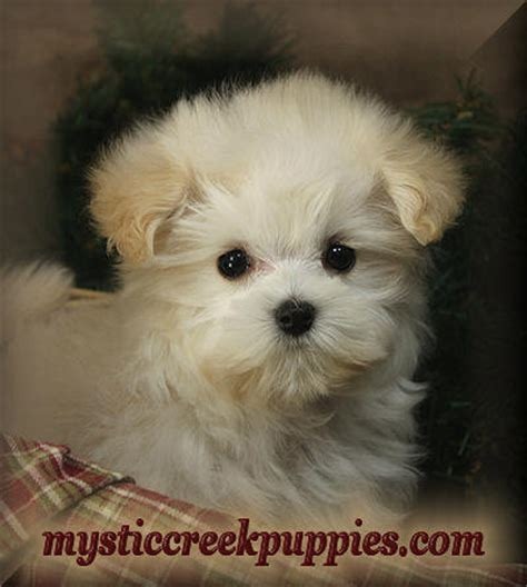 chicago puppies for sale maltipoo puppies for sale in chicago