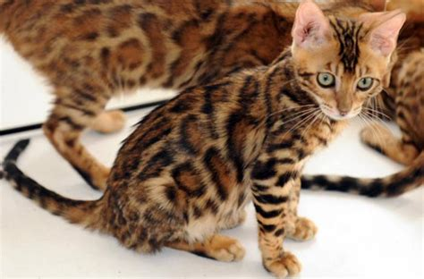 bengal house cat the exotic domestic bengal cat all the creatures