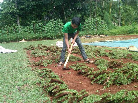 Harga Bibit Seledri Jepang jual rumput gajah mini rumput jepang rumput peking