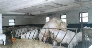 deckbullen beim decken k 252 he im stall mitten bei der paarung cows in the stable