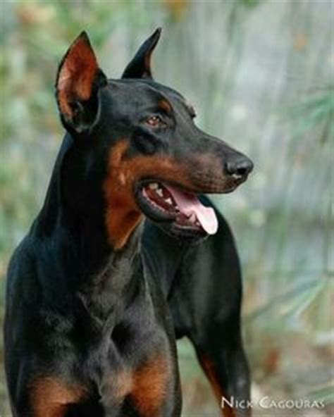 rottweiler with ears cropped 1000 images about sonny on doberman pinscher dobermans and leather