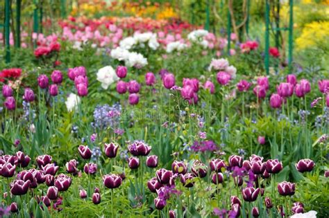 colourfull tulips flowers stock image image  picture