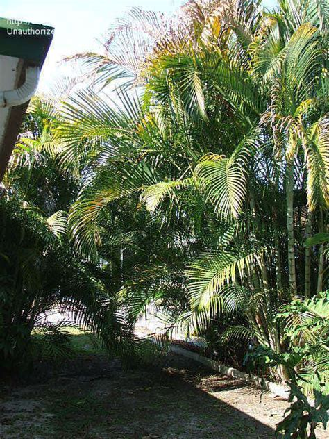 Palm Gardens Of Largo by Plantfiles Pictures Areca Palm Butterfly Palm Golden