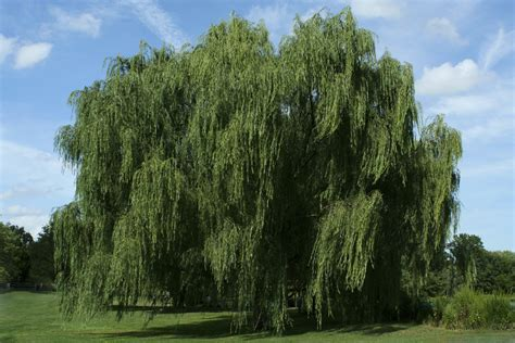 of willow types of willow trees
