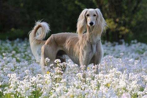 with puppies 45 pictures of saluki with puppies clicks that will make you fall in