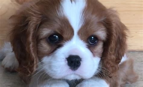 spaniel puppies michigan reputable cavalier king charles spaniel puppies breeder in michigan akc certified