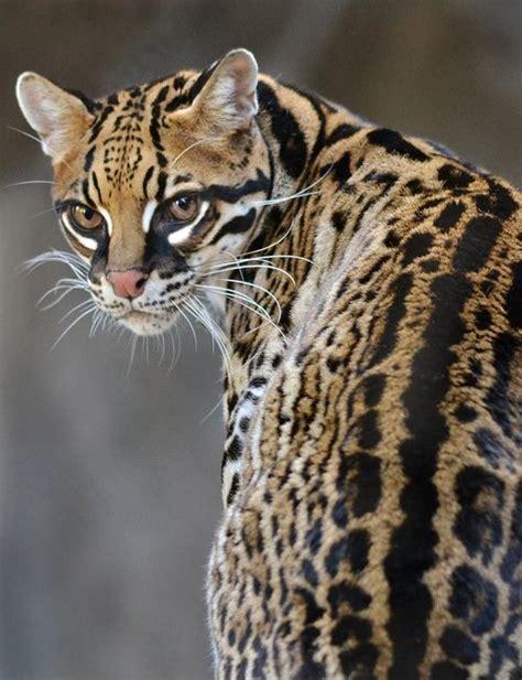 jaguar pattern house cat ocelot animal planet pinterest