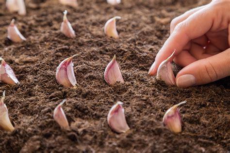 coltivare aglio in vaso coltivare aglio ecco le tecniche per farlo crescere