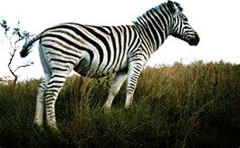 zebra pattern evolution evolution coevolution